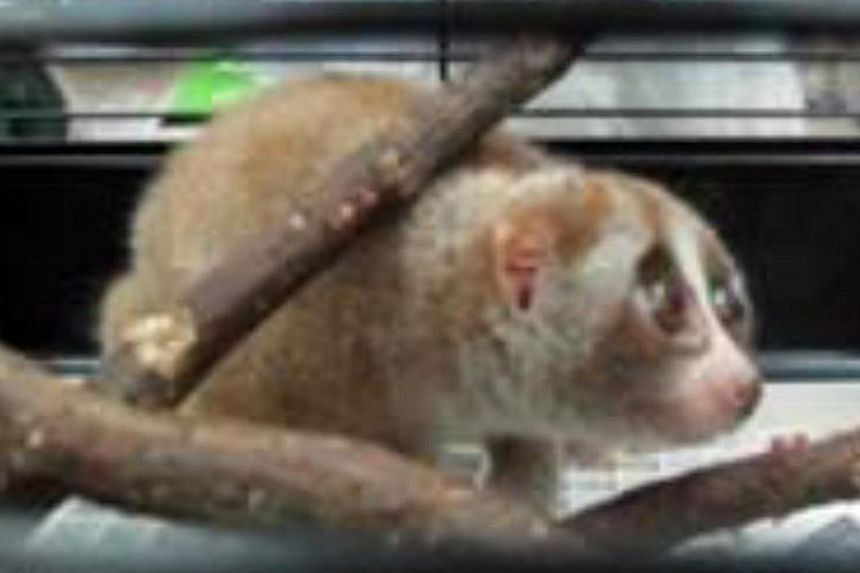 More than 30 wild or endangered animals, including a slow loris (above), were rescued from a flat in Singapore in the biggest seizure of illegal wildlife from a home in 11 years. -- FILE PHOTO: AVA