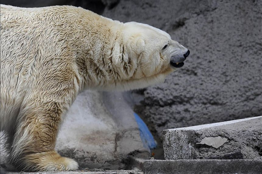Arturo, the only polar bear in Argentina, living in captivity at a zoo in Mendoza, 1,050km west of Buenos Aires, is pictured at his enclosure on Feb 5, 2014. -- PHOTO: AFP