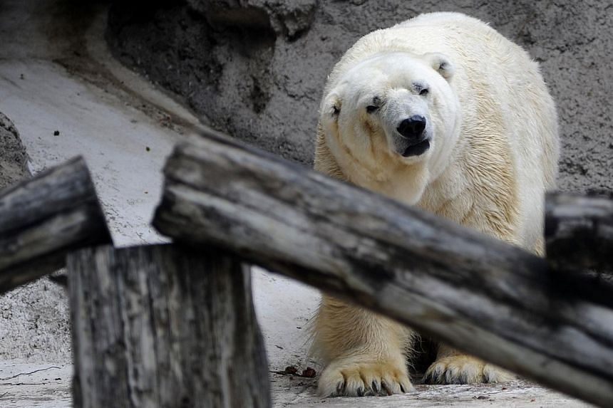 Arturo, the only polar bear in Argentina, living in captivity at a zoo in Mendoza,1,050kmwest of Buenos Aires, is pictured at his enclosure on Feb 5, 2014. -- PHOTO: AFP