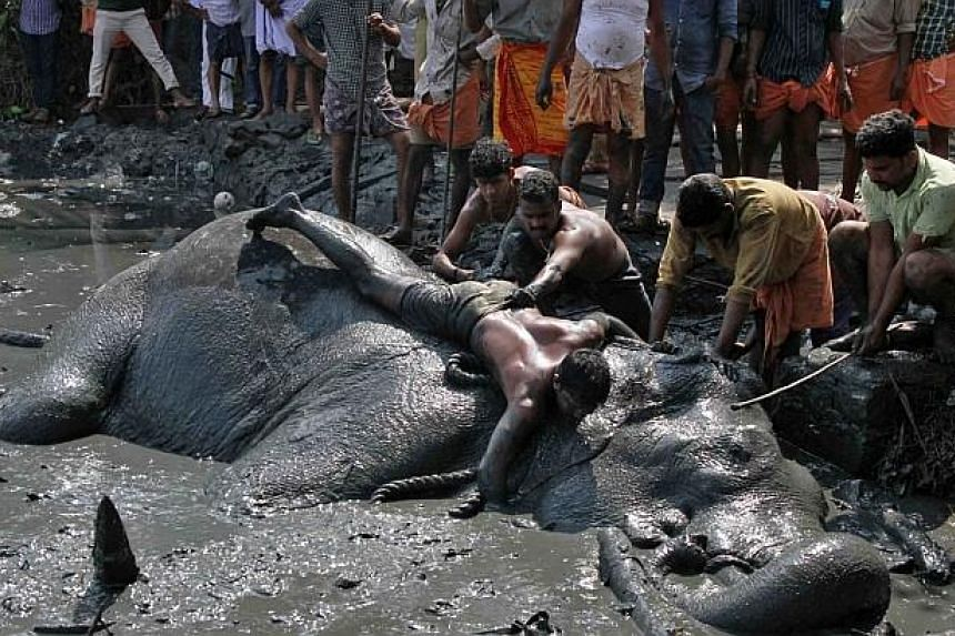 A mahout ties a rope around Ayyappan after it fell in amarshland on the banks of the Vembanad Lakeon Thursday, Feb 6, 2014. -- PHOTO: REUTERS
