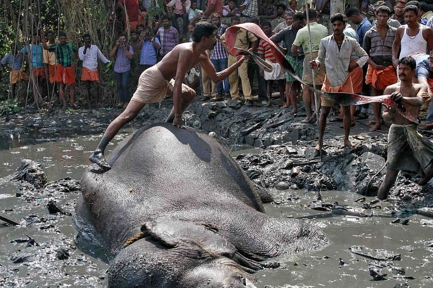 A mahout prepares to tie a rope around an elephant named Ayyappan after it fell ina marshland on the banks of the Vembanad Lake, on the outskirts of the southernIndian city of Kochi, on Thursday, Feb 6, 2014.-- PHOTO: REUTERS