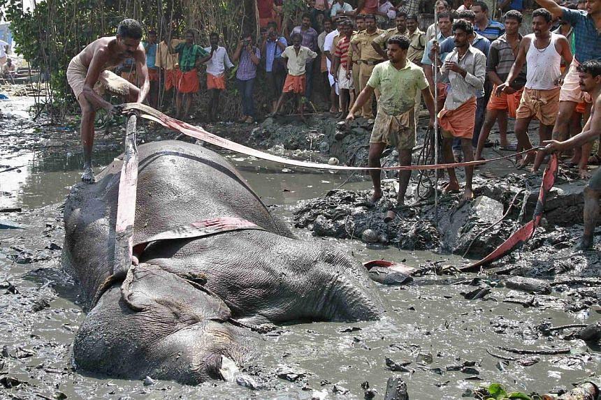 A mahout ties a rope around Ayyappan. -- PHOTO: REUTERS