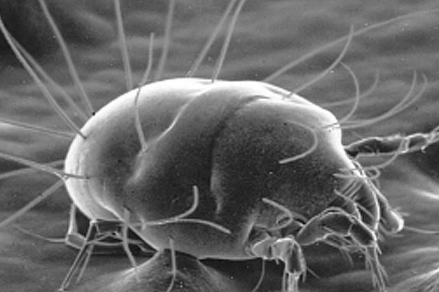 Common dust mite. The main cause of allergic asthma in Singapore is the house dust mite, scientists in Singapore have found. -- FILE PHOTO: NUH/NUS