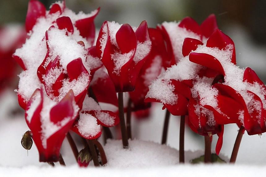 Flowers are covered with snow in Tokyo on Feb 8, 2014. Japan Meteorological Agency said wide areas of Japan will be hit by snowfall Saturday, with a rapidly developing low-pressure front heading north-east along the south side of the Honshu main isla