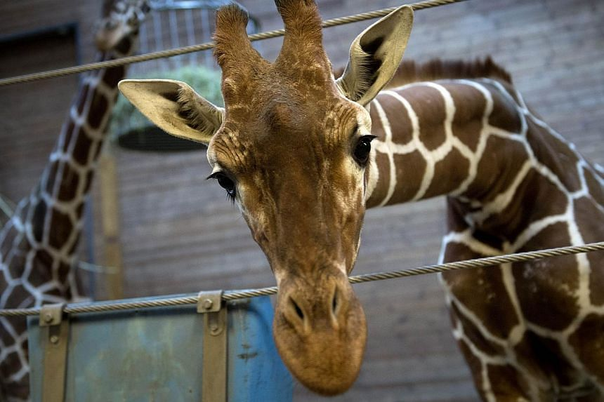 Picture taken on Feb 7, 2014, shows aperfectly healthy young giraffe named Marius who was shot dead and autopsied in the presence of visitors to the gardens at Copenhagen zoo on Feb 9, 2014, despite an online petition to save it signed by thous