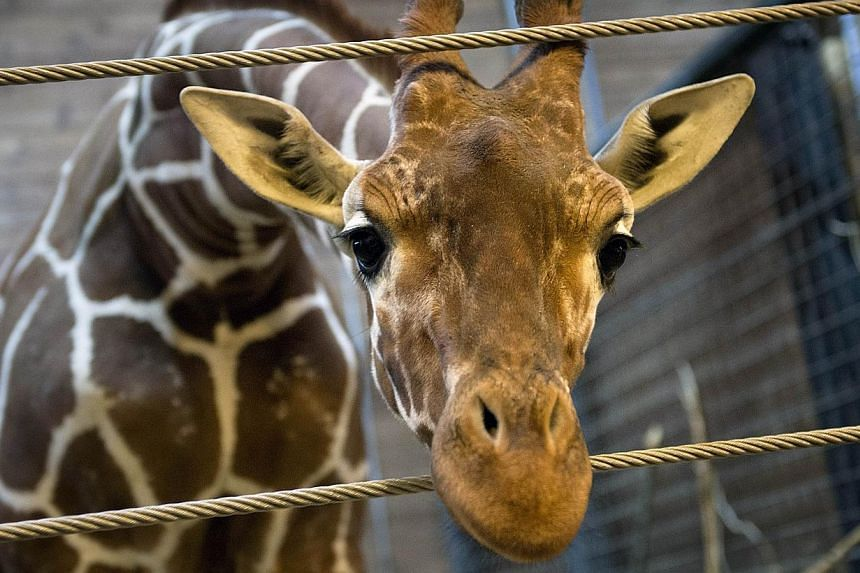 Picture taken on Feb 7, 2014, shows a perfectly healthy young giraffe named Marius who was shot dead and autopsied in the presence of visitors to the gardens at Copenhagen zoo on Feb 9, 2014, despite an online petition to save it signed by thousands