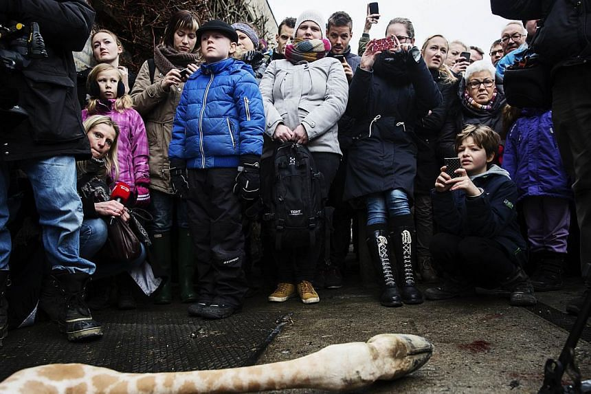 A perfectly healthy young giraffe named Marius was shot dead and autopsied in the presence of visitors to the gardens at Copenhagen zoo on Feb 9, 2014, despite an online petition to save it signed by thousands of animal lovers. -- PHOTO: AFP