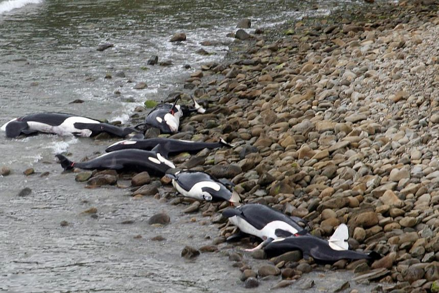 A pod of nine killer whales died on Wednesday in a rare mass stranding on the New Zealand coast, in a loss conservationists said was a major blow to the local orca population. -- PHOTO: AFP / DEPARTMENT OF CONSERVATION NEW ZEALAND