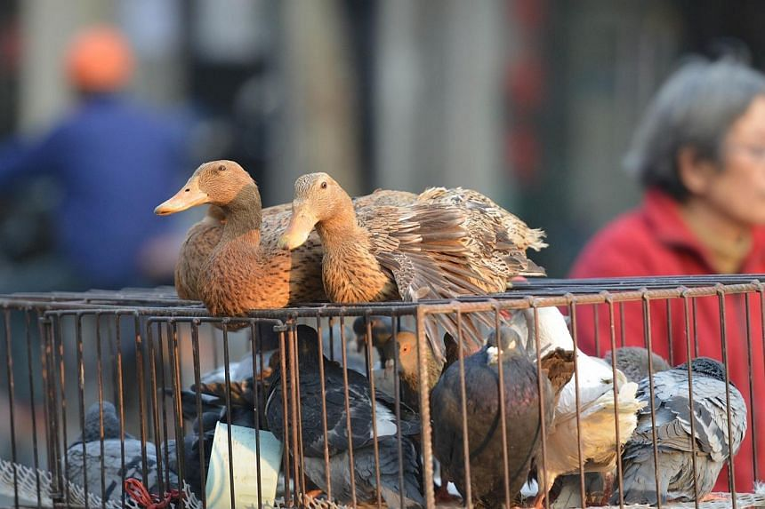 Live poultry for sale on a street in Shanghai on Jan 8, 2014. The public health risk to Singaporeans remains low despite Malaysia's first imported case of the H7N9 avian flu virus in Sabah, Singapore's Health Ministry (MOH) said on Thursday. -- FILE