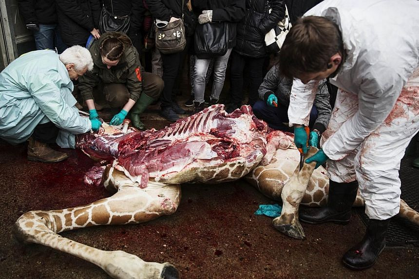 This handout photo released on Feb 11, 2014 shows veterinarians making an open to public autopsy on a giraffe Marius on Feb 9, 2014, at a zoo in Copenhagen. -- FILE PHOTO: AFP