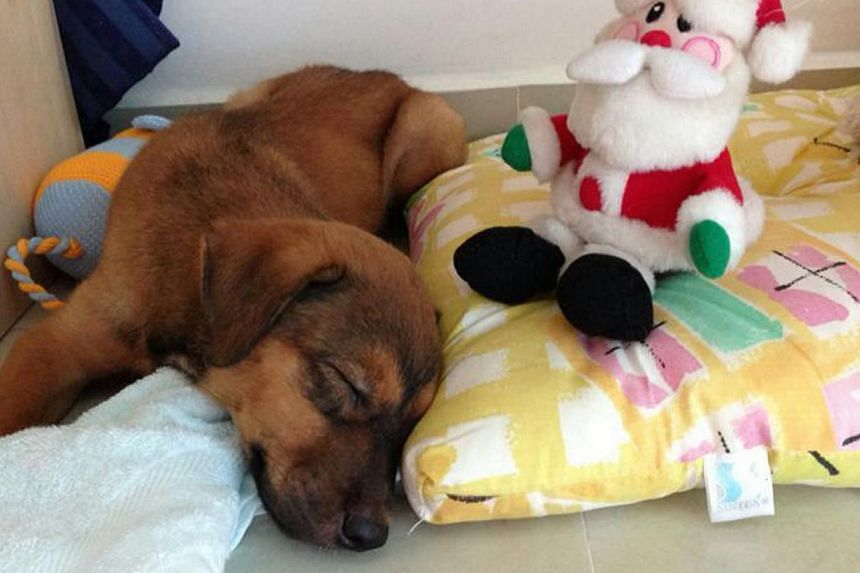 It took a 12-hour mediation session last week to finally bring closure to a five-month saga over whether Tammy the puppy should have been put to sleep. -- PHOTO: PRISCILLA TAN