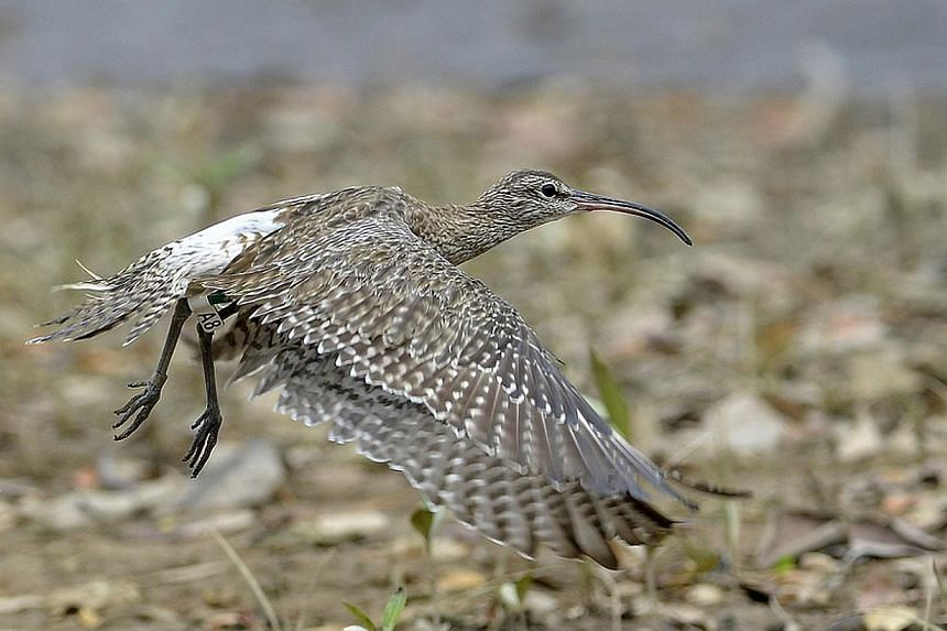A large, wading migratory bird known as the Whimbrel was recently spotted again at Sungei Buloh Wetland Reserve last month, 19 years after it was first attached with a ring in 1995. -- FILE PHOTO: NPARKS