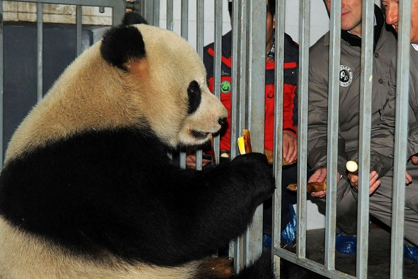 This picture taken on Feb 22, 2014, shows Belgian officials meeting giant panda Hao Hao prior to a ceremony to send off Xing Hui and Hao Hao at the China Conservation and Research Center for Giant Pandas in Dujiangyan, Sichuan province.Two gian