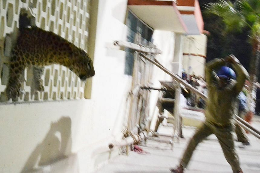 A leopard squeezes through a hole in the wall of the Meerut Cantonment Hospital as an official approaches in Meerut, on Feb 23, 2014. A leopard sparked panic in a north Indian city when it strayed inside a hospital, a cinema and an apartment blo