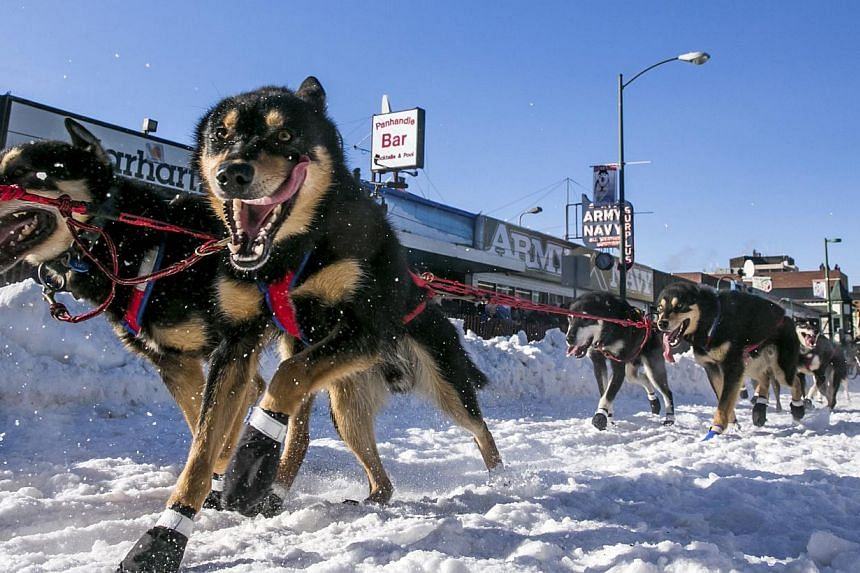 Musher Jason Mackey leaves the start chute during the ceremonial start to the Iditarod dog sled race in downtown Anchorage, Alaska, on March 1, 2014. -- PHOTO: REUTERS