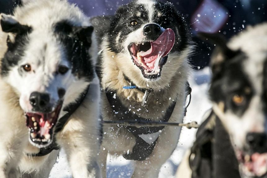 Dogs on Mr Mike Santos' team leave the chute during the ceremonial start to the Iditarod dog sled race in downtown Anchorage, Alaska, on March 1, 2014. -- PHOTO: REUTERS