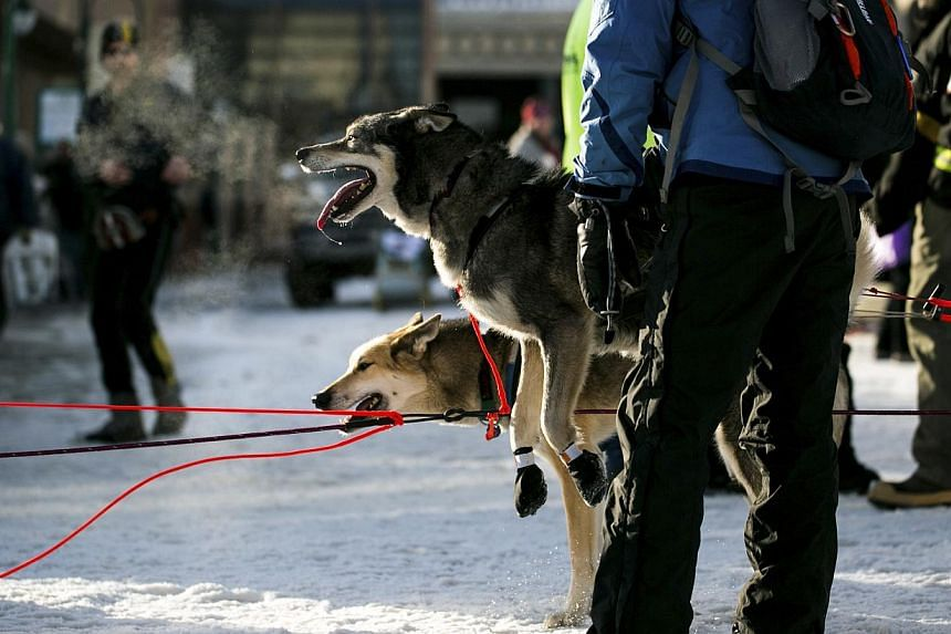 A sled dog reacts as the team approaches the entry chute of the ceremonial start to the Iditarod dog sled race in downtown Anchorage, Alaska, on March 1, 2014. -- PHOTO: REUTERS