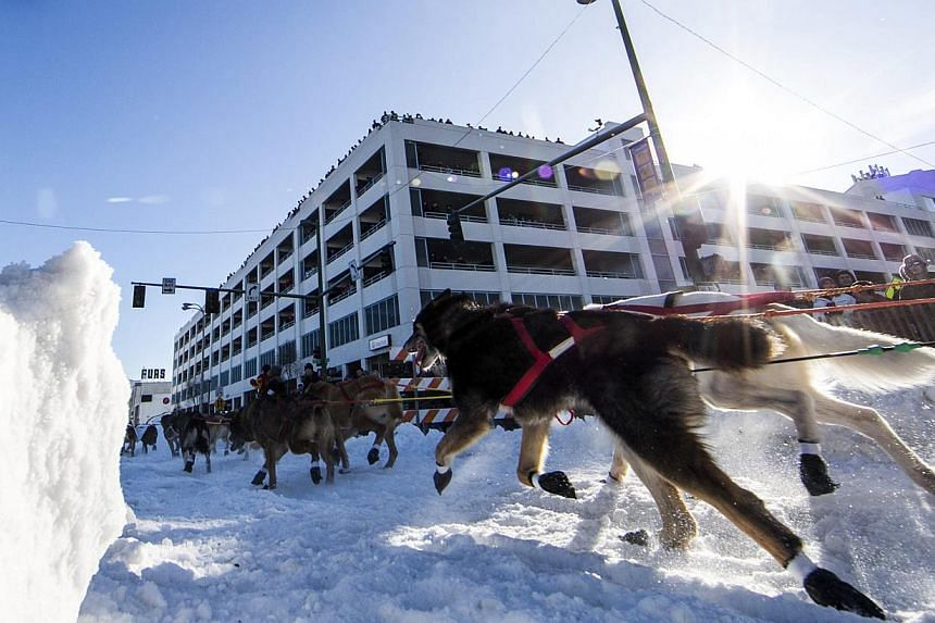 Mr Jan Steves' team charges down 4th Avenue at the ceremonial start to the Iditarod dog sled race in downtown Anchorage, Alaska, on March 1, 2014. -- PHOTO: REUTERS
