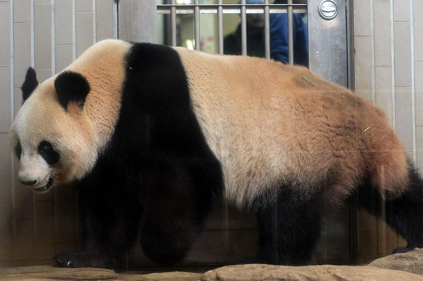 Shin Shin, a female giant panda, walks in her cage at Ueno zoo in Tokyo on March 4, 2014. -- PHOTO: AFP