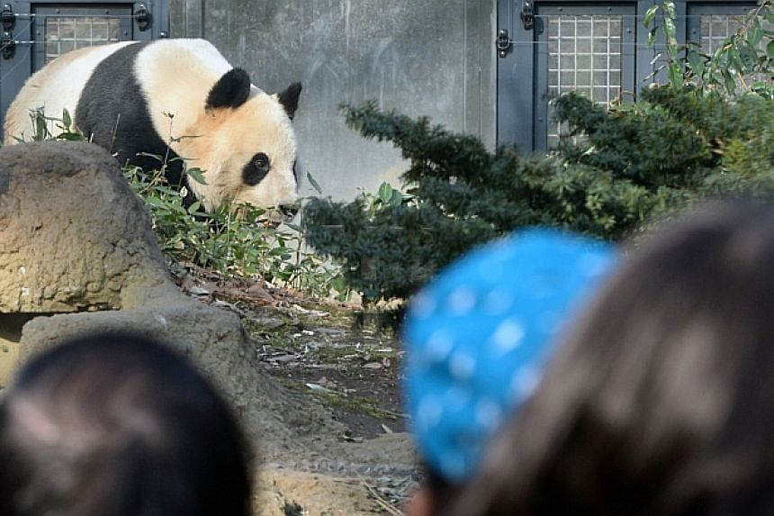 Visitors watch Ri Ri, a male giant panda, walking in his enclosure at Ueno zoo in Tokyo on March 4, 2014.-- PHOTO: AFP