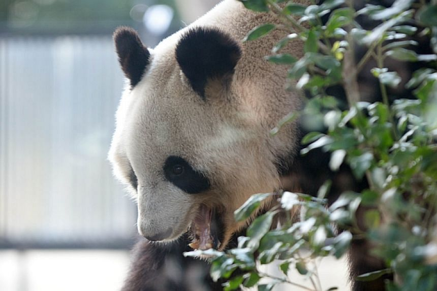 Shin Shin, a female giant panda, walks in her enclosure at Ueno zoo in Tokyo on March 4, 2014.-- PHOTO: AFP