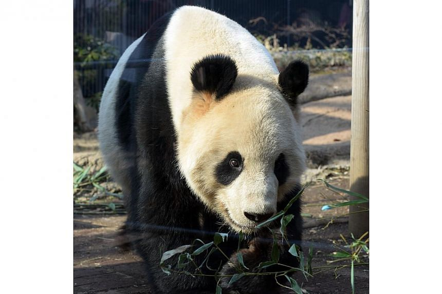 Ri Ri, a male giant panda, walks in his enclosure at Ueno zoo in Tokyo on March 4, 2014.-- PHOTO: AFP