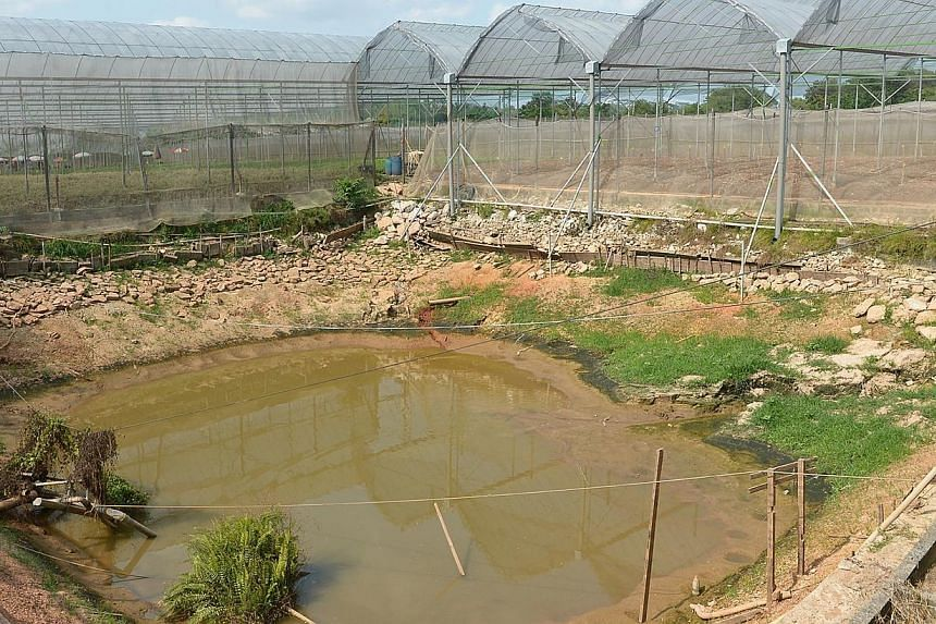 At Yili Farm in Lim Chu Kang Lane, the pond which supplies water for the vegetables is now at lower than 10 per cent full on Feb 28, 2014. -- ST FILE PHOTO: NG SOR LUAN