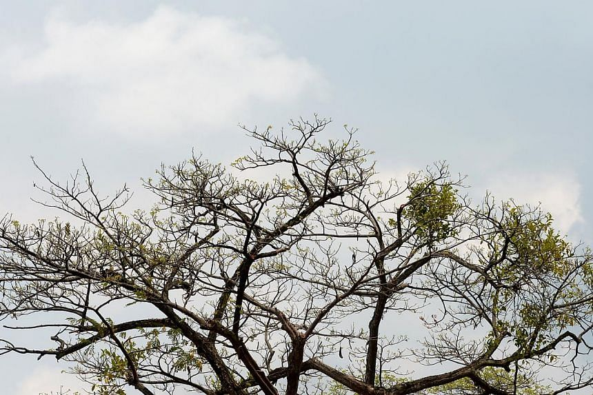 The dry weather has caused increased leaf shedding. -- ST PHOTO:JAMIE KOH