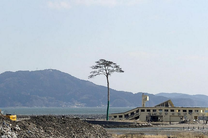BRINGING A FOREST BACK TO LIFE: The Pacific coast at Rikuzentakata used to be famous for its 70,000 pine trees. All but one were washed away by the tsunami. Mrs Takako Niinuma aims to regrow the trees with pine cones that she collected fr