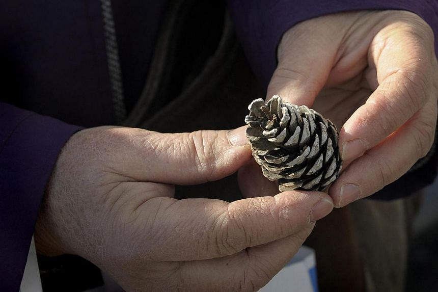 BRINGING A FOREST BACK TO LIFE: The Pacific coast at Rikuzentakata used to be famous for its 70,000 pine trees. All but one were washed away by the tsunami. Mrs Takako Niinuma  aims to regrow the trees with pine cones (pictured)  that she c