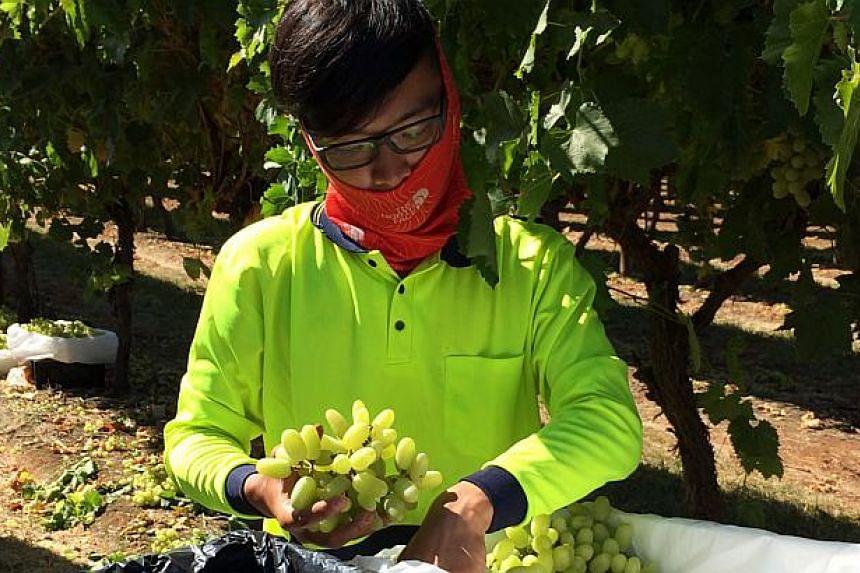 A grape picker harvesting grapes at Fruitmaster Australia in Mildura Victoria on March 4, 2014. -- ST PHOTO: CASSANDRA CHEW