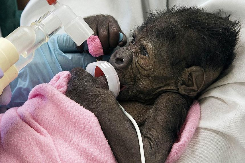 A baby gorilla suffering from pneumonia is seen in San Diego, California, in this March 13, 2014 handout photo courtesy of the San Diego Zoo. -- FILE PHOTO: REUTERS