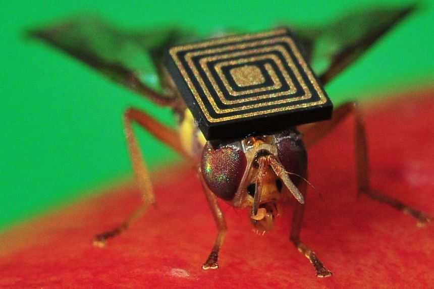A handout photo obtained from CSIRO on March 21, 2014 shows a Queensland fruit fly with a 1.5-millimetre sensor attached to its back. Scientists have hit on a new way to combat one of Australia's worst pests -- create a male-only line. Australian sci