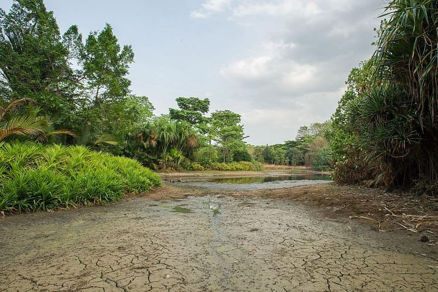 Eco Lake at the Singapore Botanic Gardens drying up due to prolonged dry spell in Singapore, on March 5, 2014. -- ST PHOTO:LIM YAOHUI