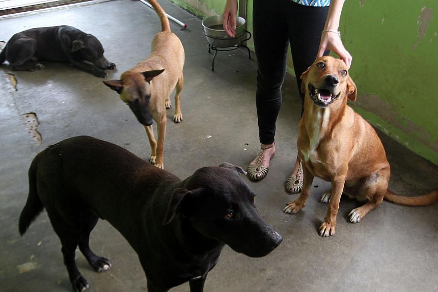 Four of five dogs taken from the Pasir Ris camp that are now under the care of Animal Lovers League. -- ST FILE PHOTO: LAU FOOK KONG
