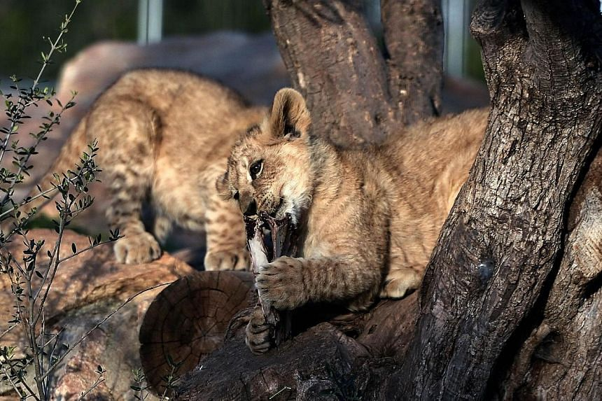 Four month old lion cubs play at their enclosure at the Attica Zoological Park in Spata, east of Athens on March 23, 2014. A Copenhagen zoo that prompted international outrage by putting down a healthy giraffe and dissecting it in public has killed t