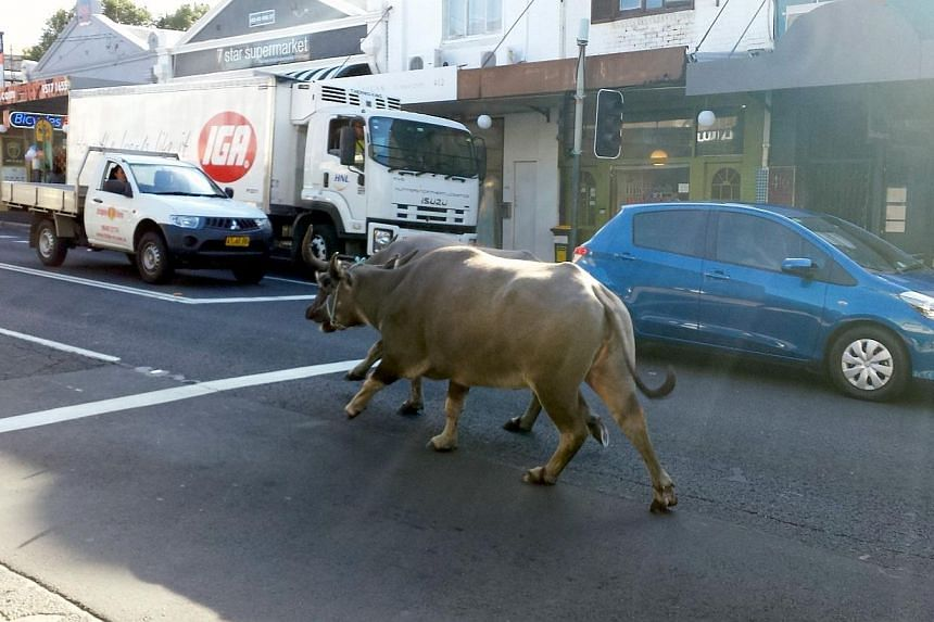 Drivers in cars and a truck watch two water buffaloes running down a main street in Sydney on March 25, 2014. Two water buffaloes startled residents of an inner-Sydney suburb on Tuesday morning, March 25, 2014, as they pelted 2km down a city str