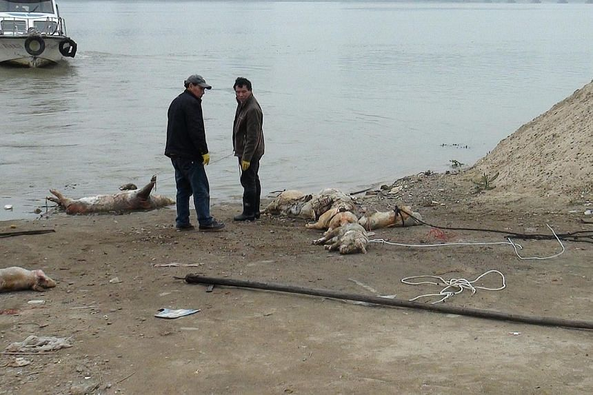 People collecting dead pigs from the Gan river in Nanchang, in eastern China's Jiangxi province, March 26, 2014. Hundreds of dead pigs are being recovered every month from a Chinese reservoir, partly due to government efforts to stop carcasses making
