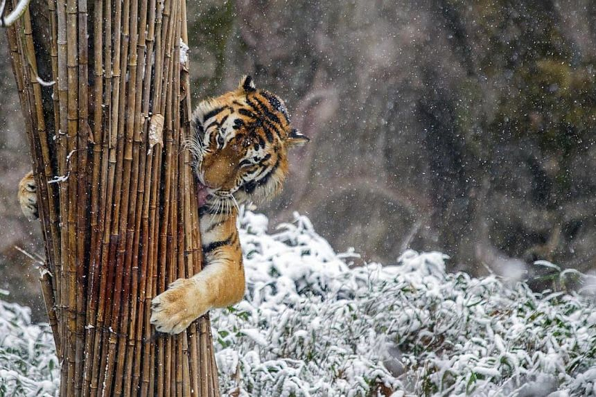 """A tiger clutches a stack of bamboo in the snow at a zoo in Hangzhou, Zhejiang province on Feb 9, 2014.More than 10 tigers have been killed as """"visual feasts"""" to entertain officials and rich businessmen in a Chinese city, state media reported. -"""