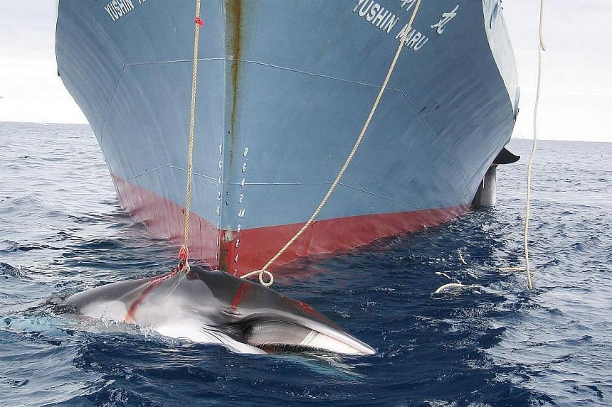 An undated handout photo released on Feb 7, 2008, shows a whale (front) and another (partly seen at right) being dragged on board a Japanese ship after being harpooned in Antarctic waters.Judges at the highest UN court ordered Japan on Monday,