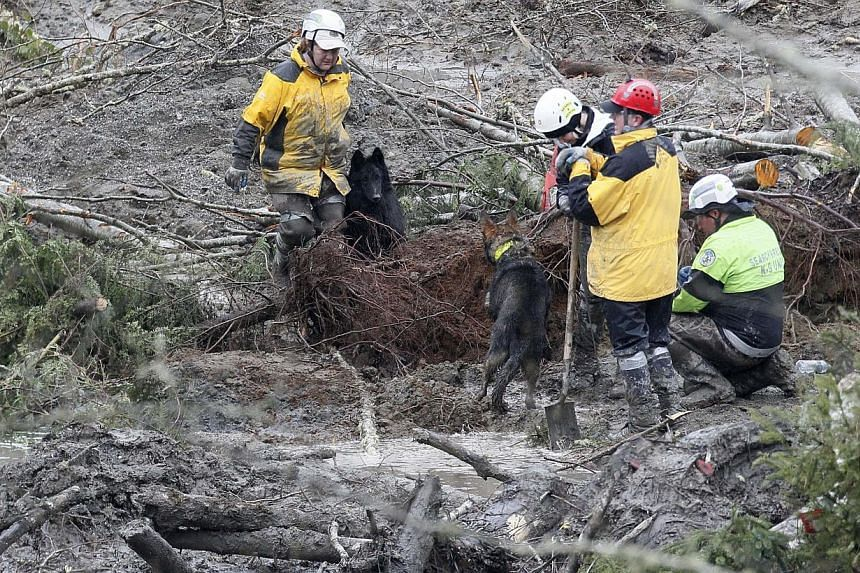 Rescue workers search for victims of a mudslide as rescue dogs growl at each other in Oso, Washington, on March 30, 2014. -- PHOTO: REUTERS