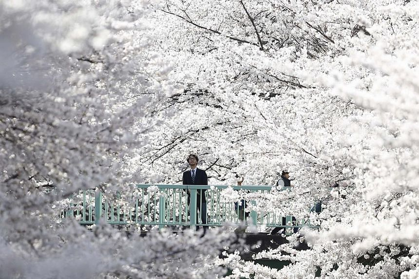 A businessman looks at cherry blossoms in full bloom in Tokyo ON March 31, 2014. -- PHOTO: REUTERS / TORI HANAI