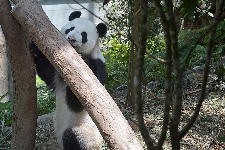 Giant panda Kai Kai feeding at the Giant Panda Forest, the largest panda exhibit in Southeast Asia at the River Safari. -- ST FILE PHOTO: KUA CHEE SIONG