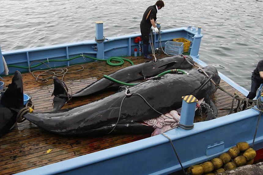 Captured short-finned pilot whales on the deck of a whaling ship at Taiji Port in Japan's oldest whaling village of Taiji, 420 km southwest of Tokyo, in June 2008. -- FILE PHOTO: REUTERS