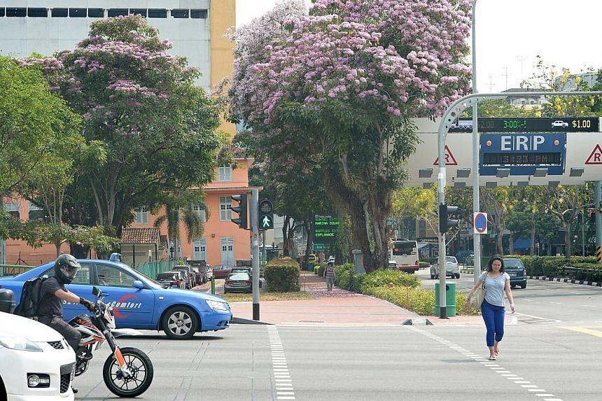 Blossoming trees along Beach Road. -- ST PHOTO:NG SOR LUAN