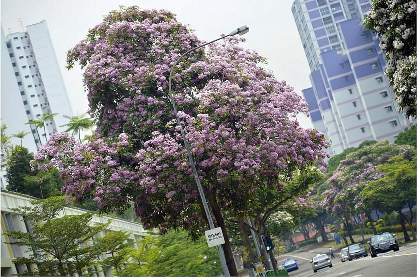 Flowering trees with pink and white blooms on both sides of Ang Mo Kio Street 53 add colour to the street. -- ST PHOTO: ASHLEIGH SIM