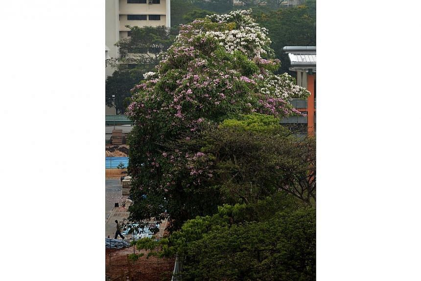 Trees in full bloom in Toa Payoh on April 4, 2014, after rain followed the recent dry spell. -- ST PHOTO: KUA CHEE SIONG