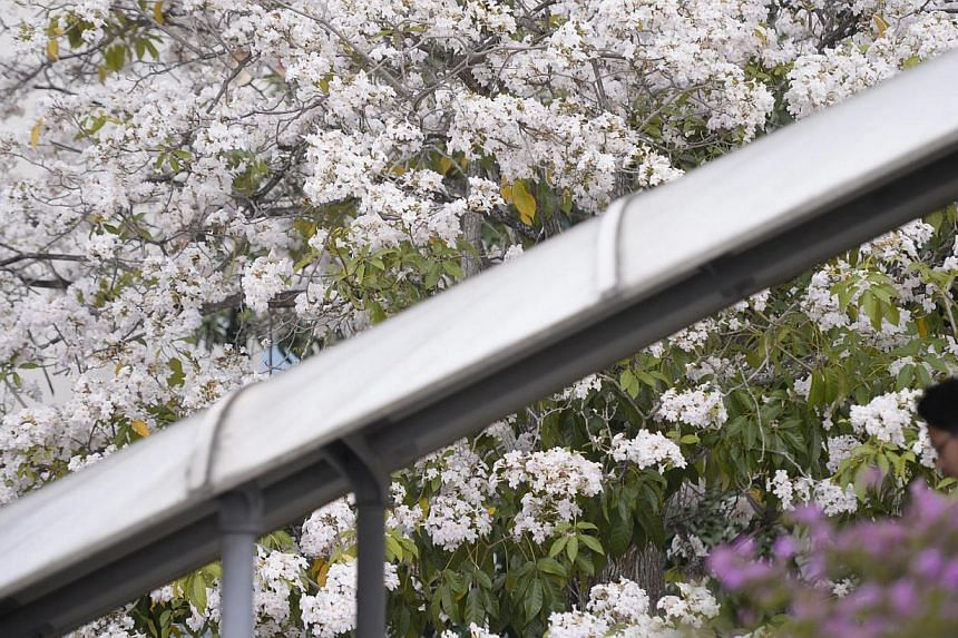 A boy, back-dropped by blossoming flowers, walks down an overhead bridge next to the former Braddell-Westlake Secondary School on April 4, 2014. -- ST PHOTO: MARK CHEONG