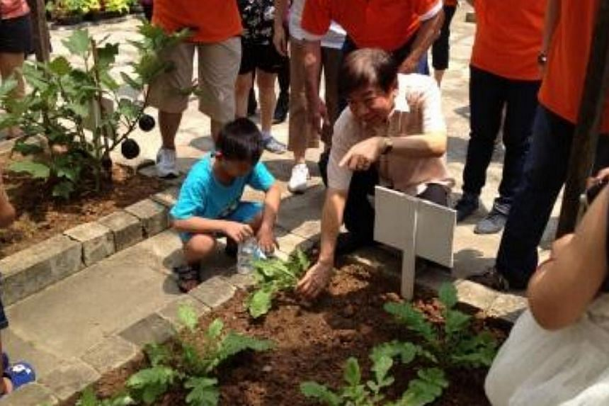 National Development Minister Khaw Boon Wan helping to harvest vegetables at a Woodlands model garden.-- PHOTO: MINISTRY OF NATIONAL DEVELOPMENT