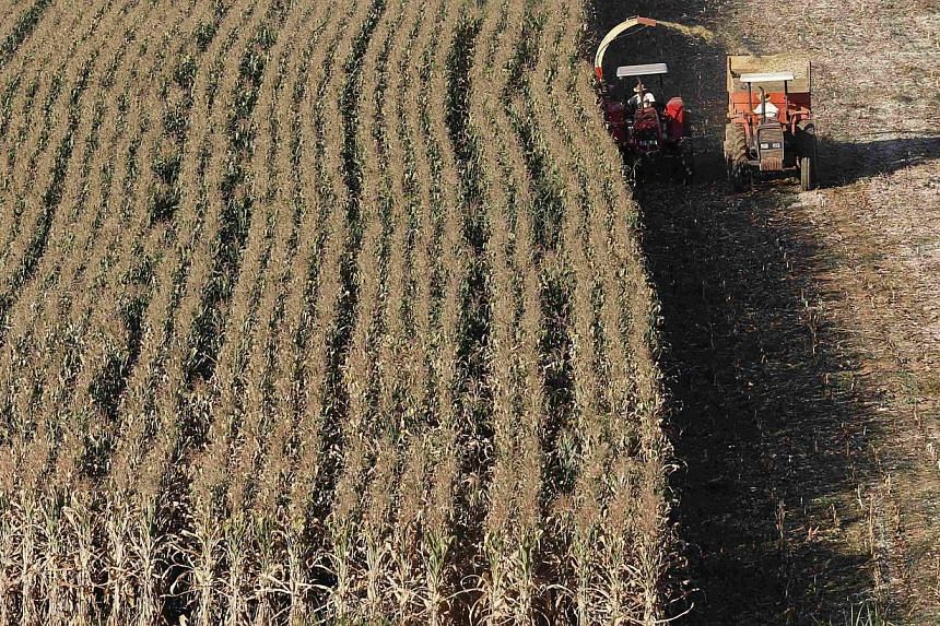 Tall feed corn is harvested in Santo Antonio do Jardim, Brazil. China, the world's second-largest corn consumer, has allowed imports of the grain from Brazil from the start of this month. -- FILE PHOTO: REUTERS